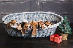 Six chiots de briquet dormant dans le panier Photographie stock libre de droits