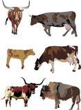 Six color bulls and cows Stock Photography