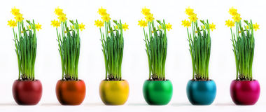 Six coloured pots with flourishing yellow daffodil Stock Image
