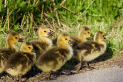 Six cute chicks Royalty Free Stock Images