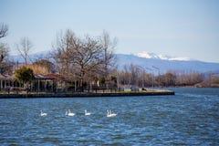 Six cygnes nageant dans le lac Photo libre de droits