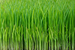 Six day of growth rice Royalty Free Stock Photography