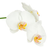 Six day old white orchid isolated on white background. Royalty Free Stock Images