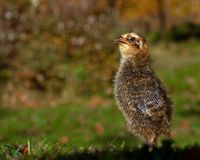 Six days old quail, Coturnix japonica.....photographed in nature. Breed by hoby growers in Sweden. The Japanese quail, Coturnix japonica, is a species of Old stock photography