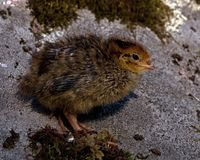 Six days old quail, Coturnix japonica.....photographed in nature. Breed by hoby growers in Sweden. The Japanese quail, Coturnix japonica, is a species of Old stock images