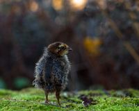Six days old quail, Coturnix japonica.....photographed in nature. Breed by hoby growers in Sweden. The Japanese quail, Coturnix japonica, is a species of Old stock image