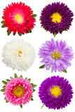 Six different asters Stock Photography