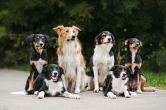 Happy family dog border collie Royalty Free Stock Images