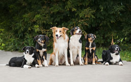 Happy six dog border collie Stock Photography