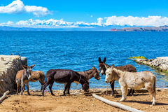 Six Donkeys and Lake Titicaca Royalty Free Stock Images