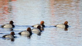 Six Drake Ducks roux sur l'étang, la Géorgie Etats-Unis photographie stock libre de droits