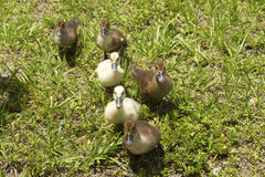 Six ducklings Royalty Free Stock Photography