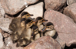 Six ducklings on the rocks Royalty Free Stock Images