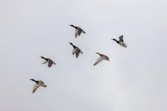 Six ducks in flight. Flock of ducks in flight against the sky Stock Photo