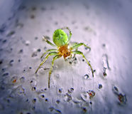 Six-Eyed Green Spider. Close-up of a Six-Eyed Green Spider Royalty Free Stock Photography