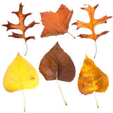 Six fall leaves Royalty Free Stock Photos
