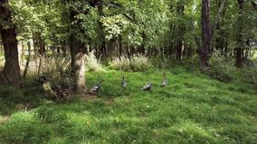 New Zealand Wild Turkeys 4k. Six female wild turkeys in the countryside oak forest in martinborough search for food and hide from hunters stock video