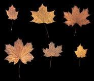 Six feuilles sèches d'érable Photo libre de droits