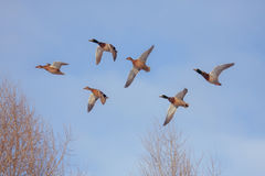 Six flying ducks Royalty Free Stock Image