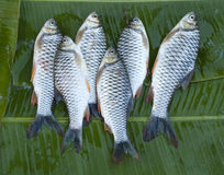 Six fresh river fishes Royalty Free Stock Photo