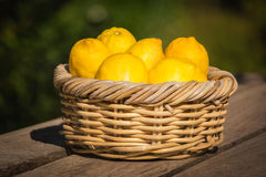 Six freshly picked Corsican lemons in wicker basket Royalty Free Stock Photography