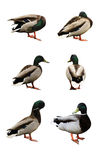 Six Funny Ducks Stock Photography