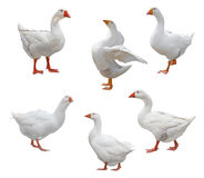 Six Geese Stock Photos