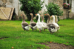 Six geese Stock Images