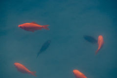 Six gold and black fish swimming in cloudy blue water Stock Photography