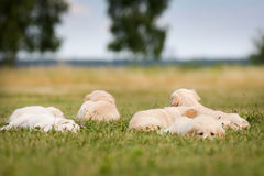Six golden retriever puppies Royalty Free Stock Images