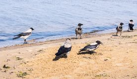 Six gray crows walking in shallow water on a sunny day stock photo