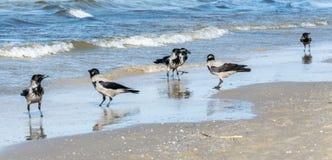 Six gray crows, Corvus Cornix, walking in shallow water stock photo