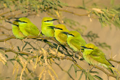 Six Green Bee Eater birds sitting on branch Stock Photo