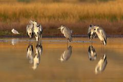 Six Grey Herons And One Black-headed Gull In Soft Morning Light Royalty Free Stock Photos