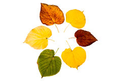 Six high resolution autumn leaves of lime tree. Isolated on white background stock images