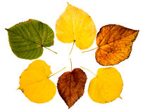 Six high resolution autumn leaves of lime tree Royalty Free Stock Images