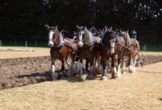 Six Horse Clydesdale Team Ploughing. In a Sprayed Field royalty free stock photography