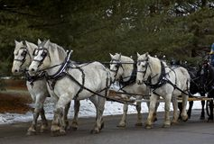 Six Horse Team. Pulling cart - 4 white horses, 2 black stock photos
