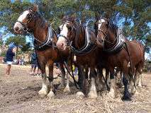 Six Horse Team. Waiting to continue ploughing Stock Photos