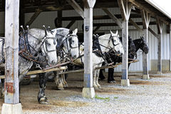 Six Horses Waiting for Action. Six horses hitched up to wagons (not visible in image) under a barn overhang. waiting to begin their work day Stock Photography