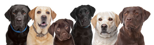 Six Labrador dogs in a row royalty free stock image
