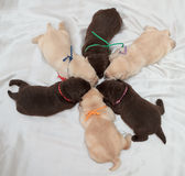 Six labrador retriever puppies. (one week old royalty free stock photos