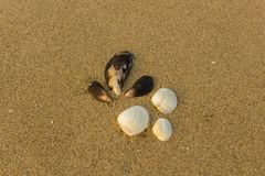 Six large white and brown shells close up on a blurry yellow sand with small shells stock photography