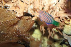 Six-line wrasse. Floating in water Royalty Free Stock Image