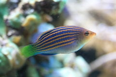 Six line wrasse Royalty Free Stock Photography