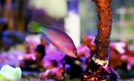 Free Six Line Wrasse - Pseudocheilinus Hexataenia Royalty Free Stock Images - 145322639