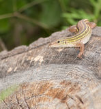Six-lined racerunner Stock Photography