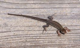Six-lined Racerunner Stock Photo