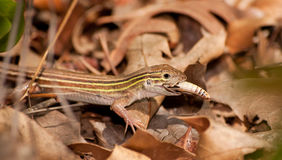 Six-lined Racerunner whiptail Stock Photography