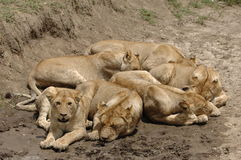Six lions. Stock Images